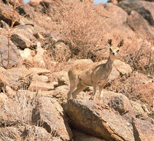 Klipspringer on the reserve