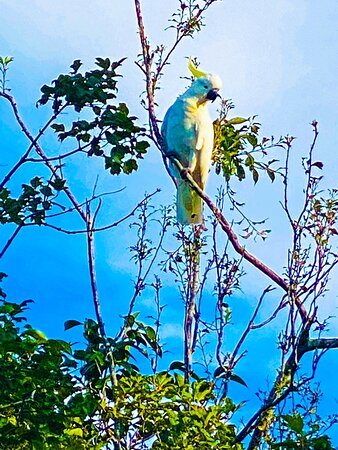 Blue Mountains National Park, Australia: Yellow crested cockatoos come in early morning to feast on apple 🍎 trees Blackheath NSW