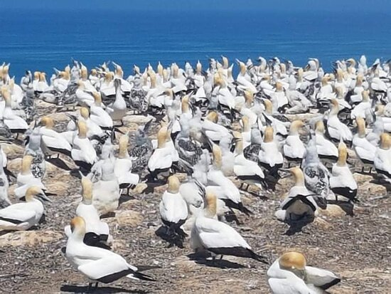 Фотография Gannet Safaris Overland tour to Cape Kidnappers Gannet Colony
