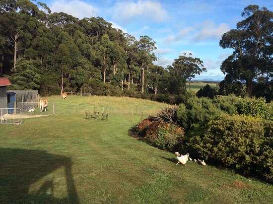 Rocky Cape, Australien: View of The Nut from the lounge window (plus Dorothy the Jersey cow and her son Teddy and mother hen with her chicks)