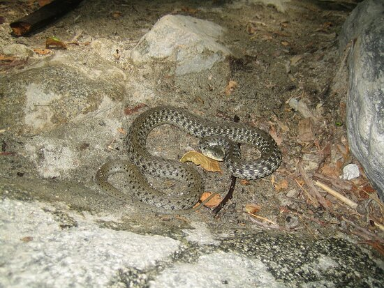 Garter Snake, Icehouse Canyon, Angeles National Forest, CA