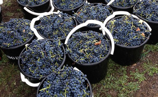 Adelaide Hills, Úc: You know what these are getting ready for ... freshly picked and the start of their journey in becoming a nice red for the dinner table!