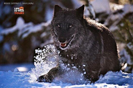 Grand Teton and Yellowstone wildlife tours