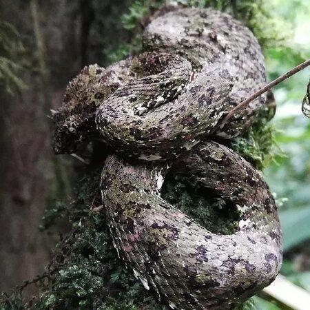 serpiente alboricola venesnosas