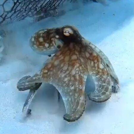 Octopus near Asta Reef