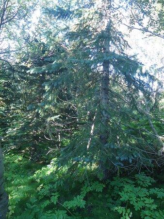 W tutejszym lesie można też spotkać całkiem okazałe drzewa iglaste .