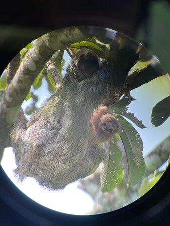 Baby sloth sighting