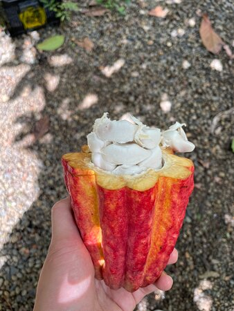 Cacao to eat during the chocolate tour