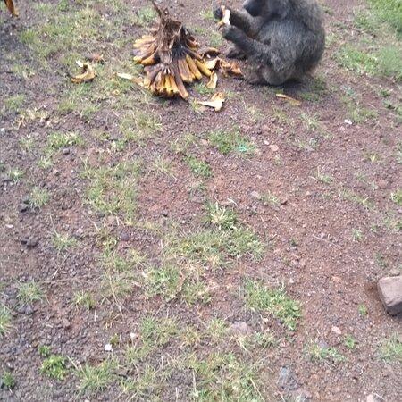 Meru Town, Kenya: Lovely monkeys meru  nanyuki