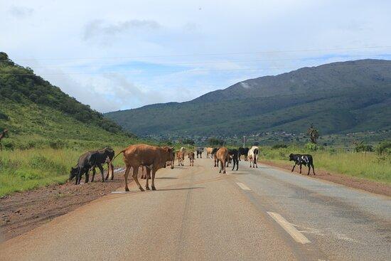 Ohrigstad, África do Sul: Das oft erwähnte Vieh auf den Strassen...