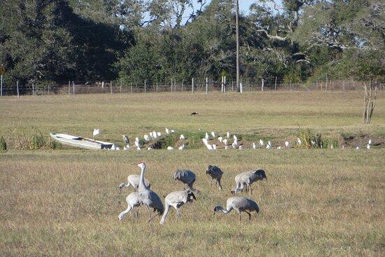 Sandhill cranes across the street. The Big Tree, Rockport, TX,  Dec 2020