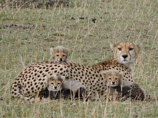 Cheetah and her babies