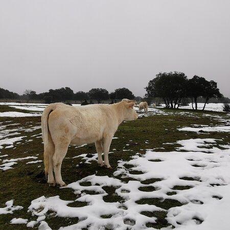 Galapagar, Spain: El ganado en el campo bajo las inclemencias del tiempo, nieve y lluvia.