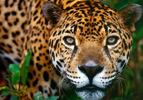 Puerto Jimenez, Costa Rica: the beautiful jaguar