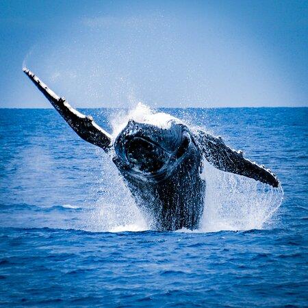 See our seasonal Humpback Whales breach