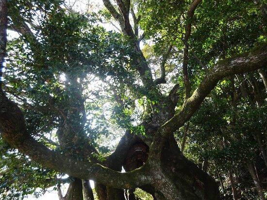 Sugeuchi no  Camphor Tree