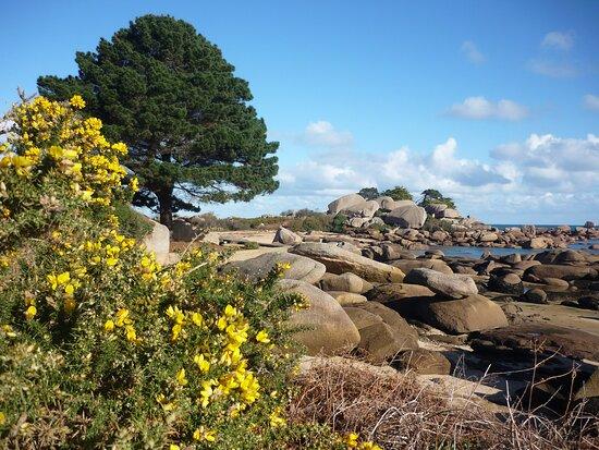 Ajoncs fleuris et Rochers roses  près de la plage Ti Al Lia  à la pointe de l'île Renote côté sud vers la baie de Sainte Anne à Trégastel Coeur de la Côte de Granit Rose.  Le long du GR34 qui permet de faire le tour de l'île Renote aux multiples facettes.