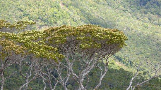 Dumbea, New Caledonia: 🌳    UMBRELLATREE  🌳  .:。 🅿🅰🆃🆃🅴 🅳'🅾🅸🅴 🆃🆁🅰🅸🅻 .:。.:。 ✿*゚ 🄳🅉🅄🄼🄰🄲 🅁🄾🄰🄳 ✿*゚    𝘿𝙐𝙈𝘽𝙀𝘼 𝙍𝙚𝙜𝙞𝙤𝙣  ✿❈ 𝙉𝙀𝙒 𝘾𝘼𝙇𝙀𝘿𝙊𝙉𝙄𝘼𝙉  𝙇𝘼𝙉𝘿𝙎𝘾𝘼𝙋𝙀  🌳