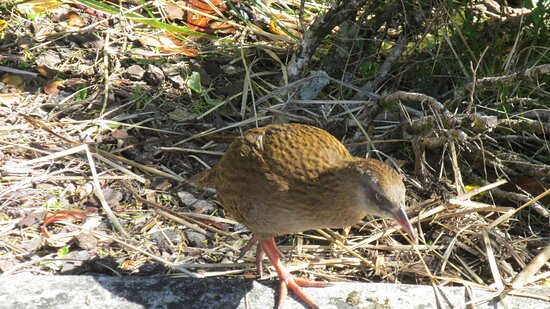 Denniston, نيوزيلندا: Weka are prevalent and very interested in any food you may have.