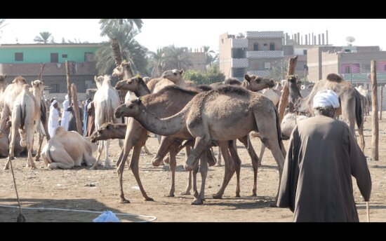 the camel market in Daraw.  One of our favorite excursions on the Nile dahabiya cruise