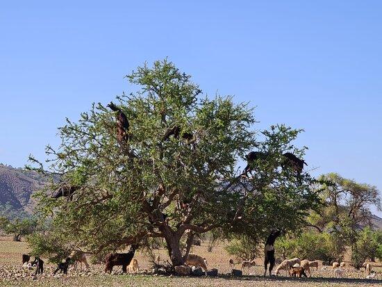 Chèvres dans les arbres