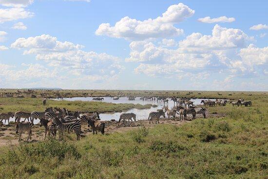Vườn quốc gia Serengeti, Tanzania: Eastern Serengeti- Zebras migrating toward Ndutu