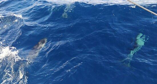 Seaborn catamaran dolphin and whale watching: Golfinhos acompanhado o catamarã