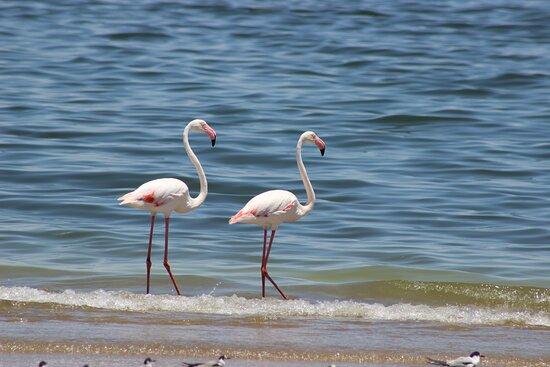 Sandwich Harbour Half Day 4x4 Excursion: Greater Flamingo