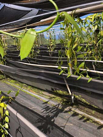 Vines grow hydroponically