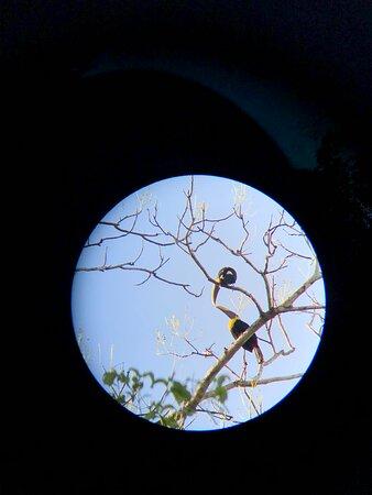 Chestnut-mandibled toucans