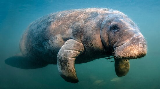 Manatee spottings happen more often than you would think in the 10,000 islands.