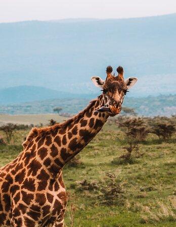 Парк Нгоронгоро: жираф