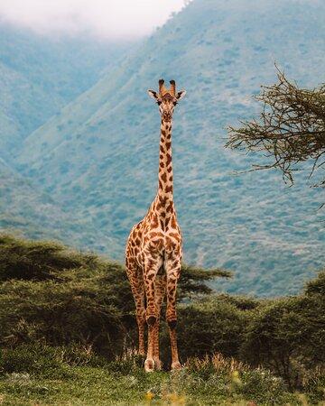 Парк Нгоронгоро: детеныш жирафа