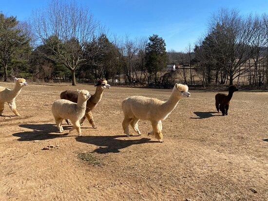 Breezy Hill Farm Alpacas
