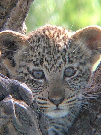 Leopard cub in the tree