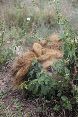 Peekaboo Male Lion