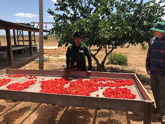 Lethem, Γουιάνα: Harvesting hot peppers at the Waikin Ranch.