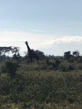 3 Days Masai Mara Special Safari: Giraffe