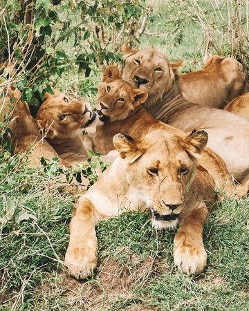 Lion pride at Masai Mara