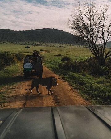 Lion crossing the road at Masai Mara
