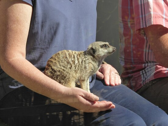This meerkat experience costs $40 per person to feed and get photos with the animals.