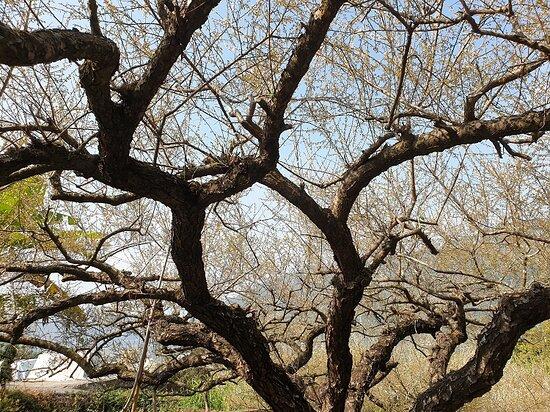 Xinshe Plum Forest