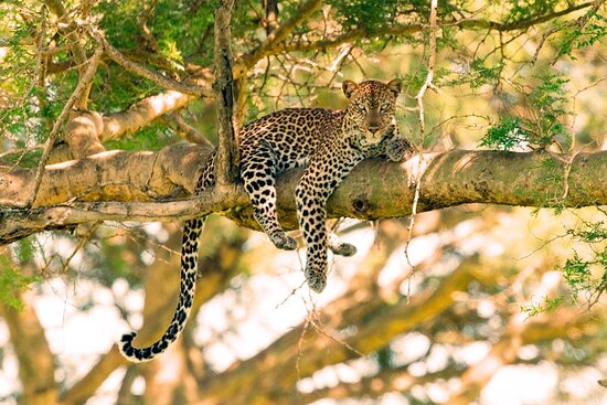 Murchison Falls National Park, Uganda: Leopard in Murchison Falls