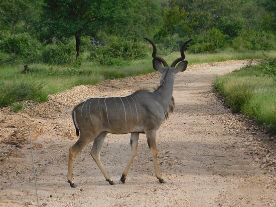 Kudu crossing on our game drive.