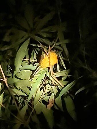 Sleeping yellow bellied Trogon, or something like that ;-)...