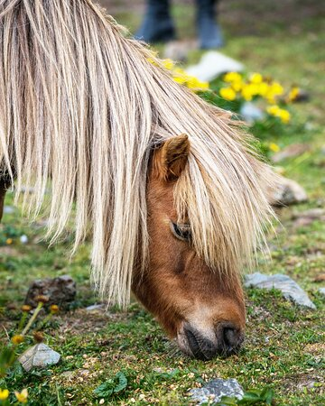 Shetland Islands, UK: The Shetland Pony's small size and thick coat have helped it survive long, harsh winters for thousands of years. Meet—and take a photo with—these remarkable four-legged friends on a voyage around the British Isles.