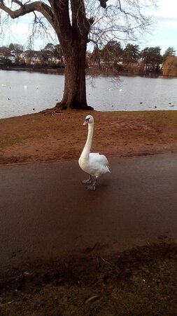 Cardiff, UK: Swan going for a walk along the path