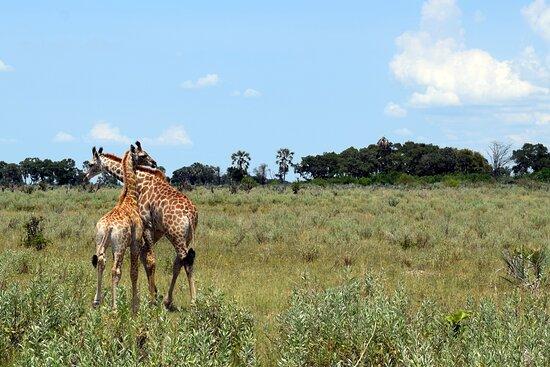 Bilder fra Safari Addicts – Bilder fra Maun - Tripadvisor