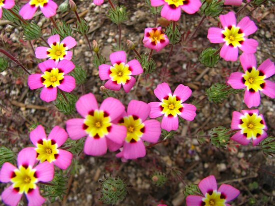 Sequoia and Kings Canyon National Park, CA: june flowers