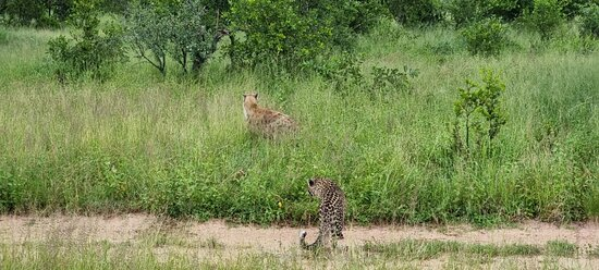 Djuma Game Reserve, Sudáfrica: Leopard vs Hyena interaction
